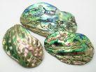 Abalone Paua Muschel Teilstück